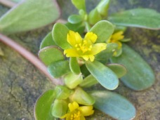 purslane-closeup-flower